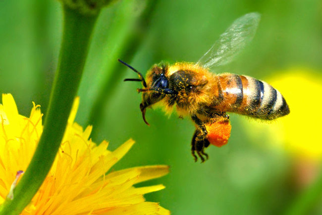 пчела садиться на цветок